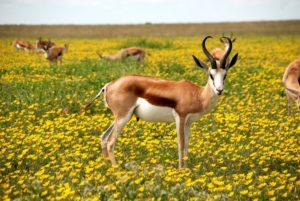 Slender Springbok