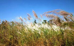 Grass Cambodia