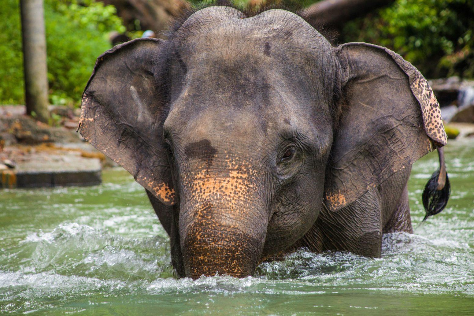 elephant asia