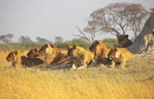 Africa Lions