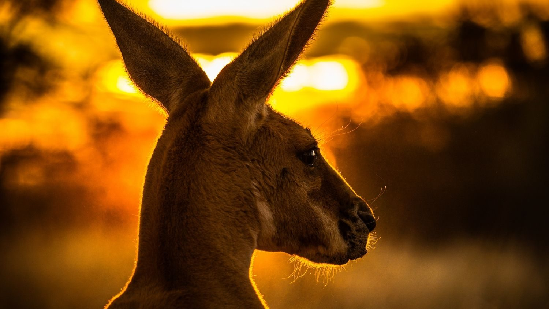 Australia in a month Kangaroo
