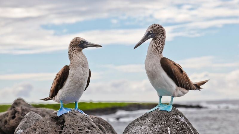 Expedition Cruise, Galapagos, blue-footed boobies